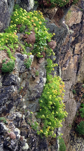 Plants growing on the rocky cliff at Galley Head, Ireland