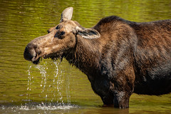 Isle Royale National Park - Moose