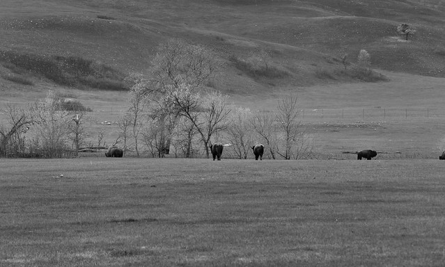 American Bison Grazing Along the Hillsides and Flynn Creek (Black & White, Custer National Park)