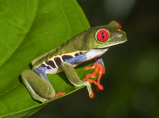 Red-eyed Leaf Frog - Agalychnis callidryas (Hylidae) 110p-6093