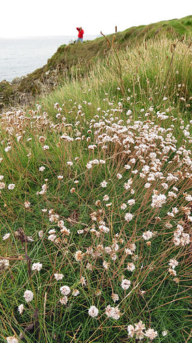 Tiny white flowers scattered up a grassy slope at Galley Head, Ireland