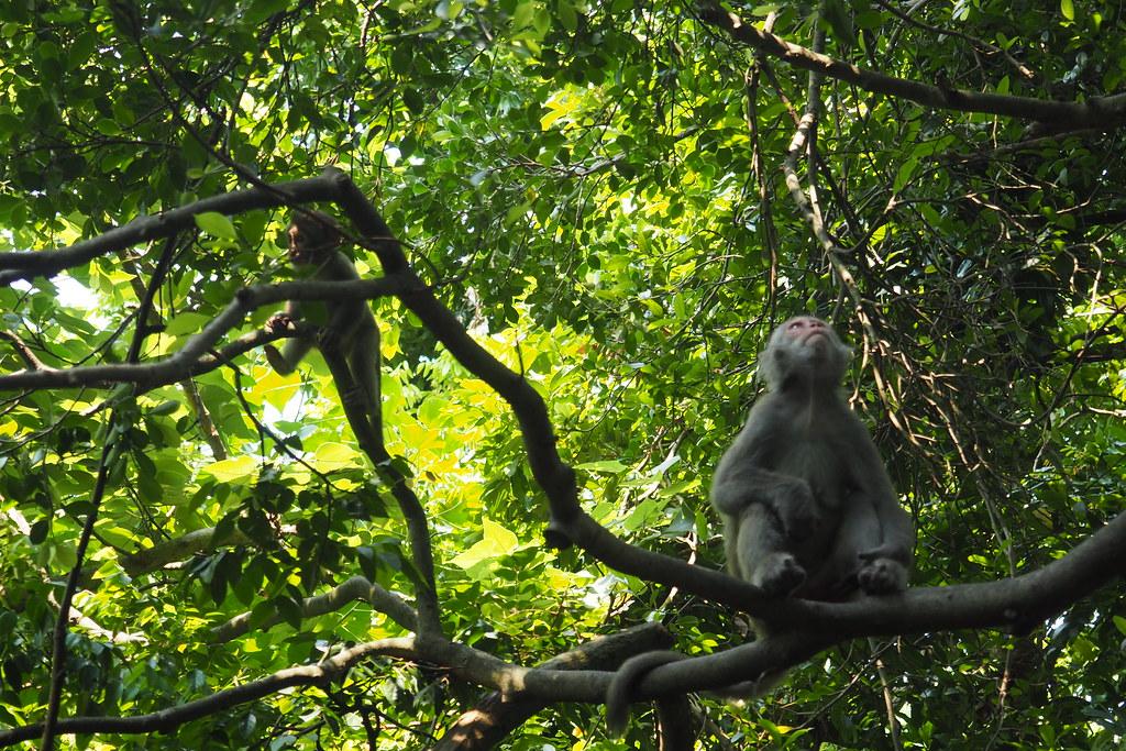 台灣獼猴是台灣除了人類以外唯一靈長類動物。攝影:李育琴