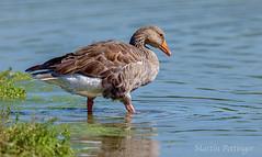 GreyLag Goose -0589