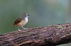 Short-tailed Babbler (Malacocincla malaccensis) @ Mount Silam, Lahad Datu, Sabah, East-Malaysia_20190825_0014