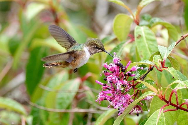 Volcano Hummingbird  *Colibri flammule** Costa Rica