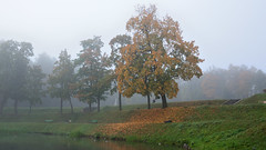 Maple. Karpin pond. Leaf fall