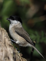 Marsh Tit Woodwalton Fen taken last year not previously posted. Posted yesterday but it failed