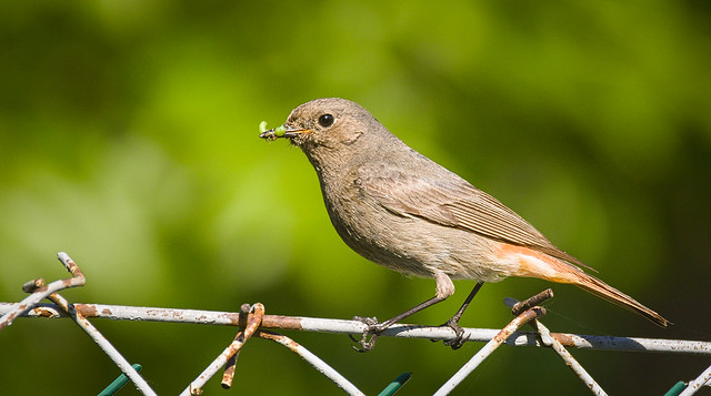 Black redstart mother