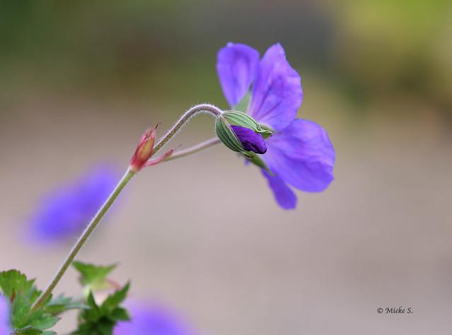 Mijn Geranium Rozanne bloeit en bloeit maar door...