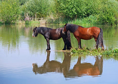 Horses at Attenborough