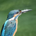 Kingfisher 190923062.jpg
