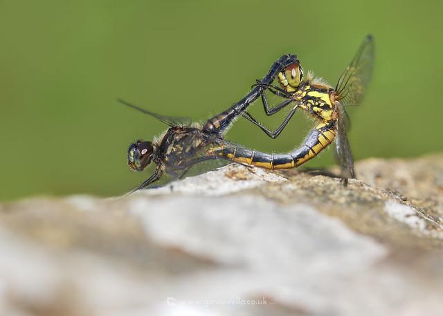 Black Darter Pair Mating W 18th September