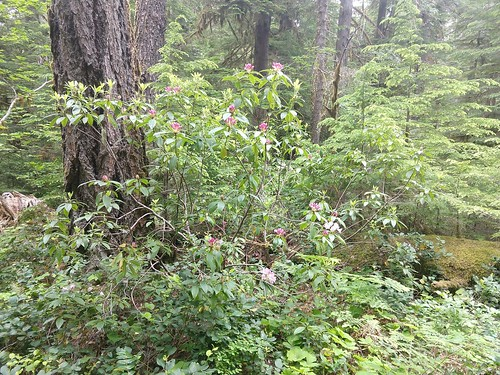 Mon, 09/23/2019 - 10:05 - Rhododendron macrophyllum in the plot  Photo credit: Wind River Forest Dynamics Plot Facebook page