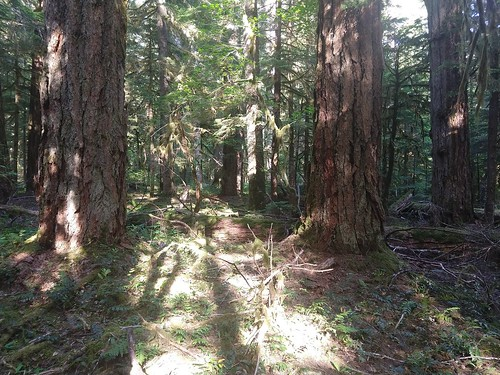 Mon, 09/23/2019 - 10:05 - Nice Douglas-fir near cell A40  Photo credit: Wind River Forest Dynamics Plot Facebook page