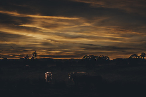 ireland kilmovee countymayo cows sunset