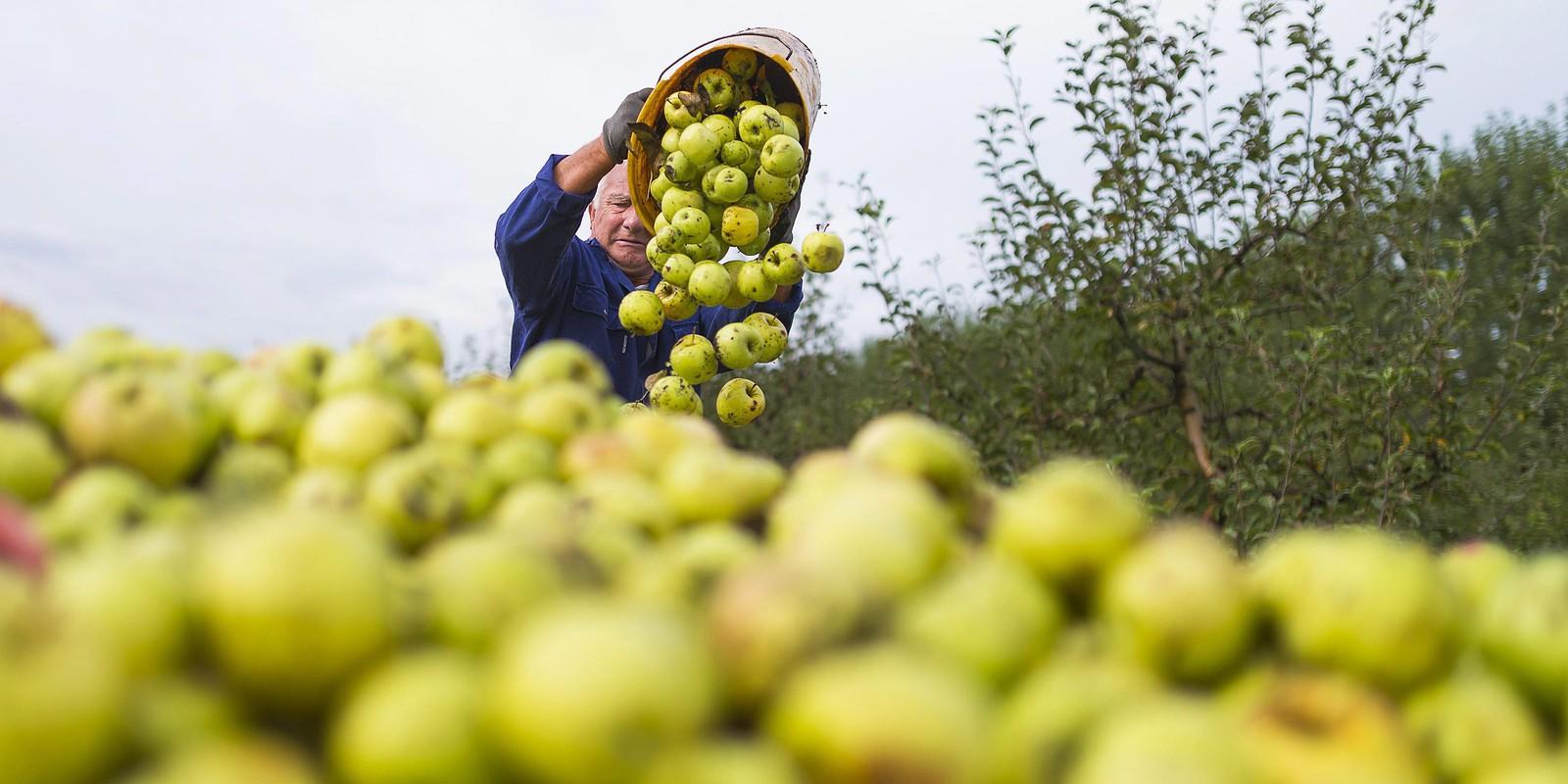 A legpesszimistább elvárásokat sem teljesíti idén a magyar alma