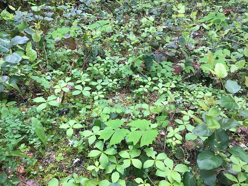 Mon, 09/23/2019 - 10:05 - Nice understory diversity  Photo credit: Wind River Forest Dynamics Plot Facebook page