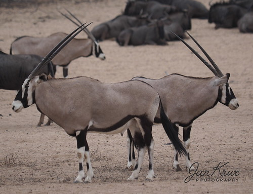 Oryx Two-Sided