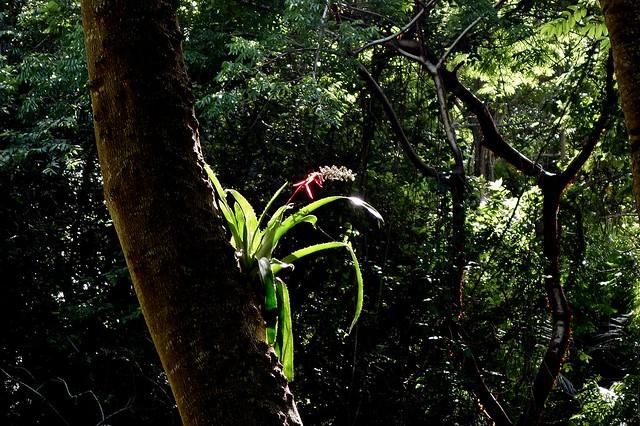 MEXICO , Comalcalco , Flora im Dschungel, Bromelien, 19290/11967