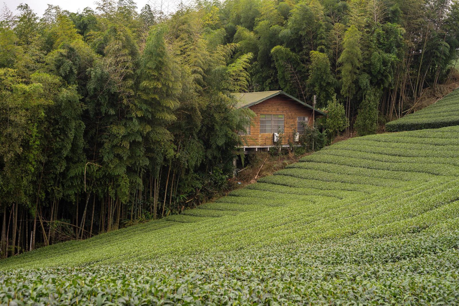 嘉義梅山當茶農,親子採茶一條龍 -9