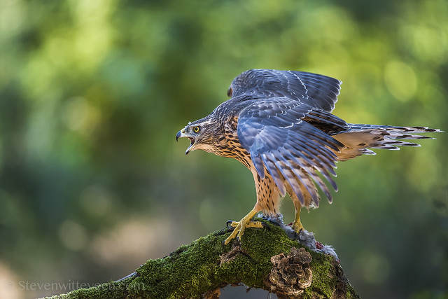 The Goshawk - Havik