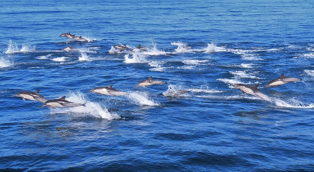 A Pod of Common Dolphin near Santa Cruz Island