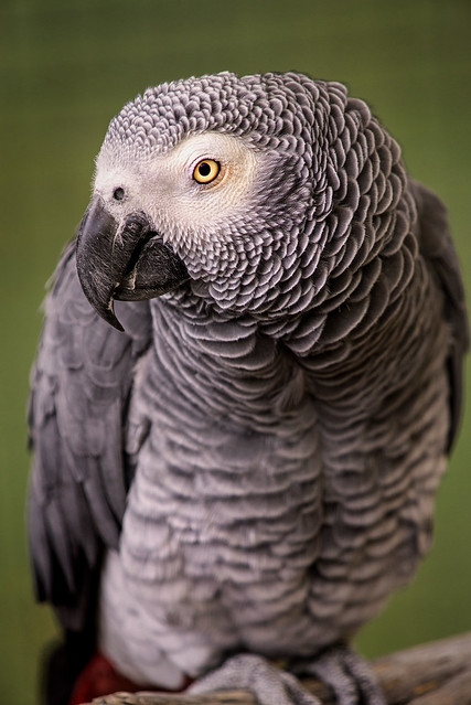 African Grey Parrot 3-0 F LR 9-22-19 J007