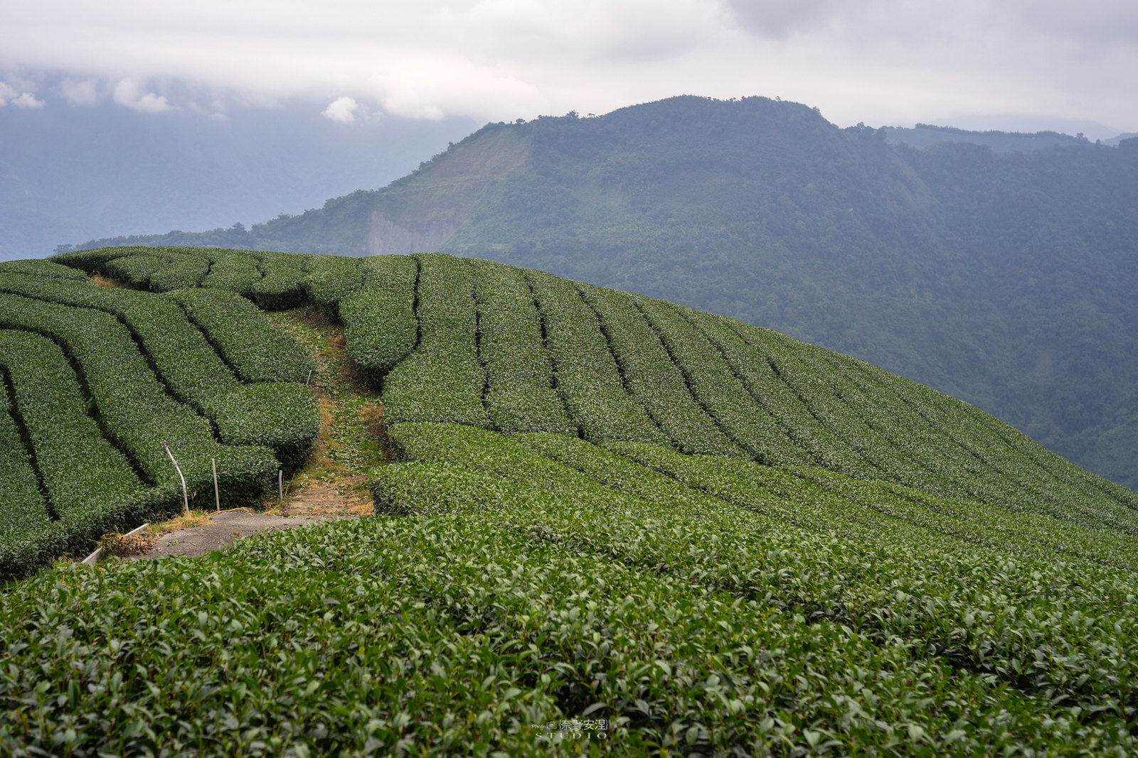 嘉義梅山當茶農,親子採茶一條龍 -17