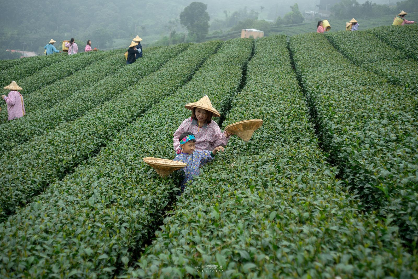 嘉義梅山當茶農,親子採茶一條龍 -4