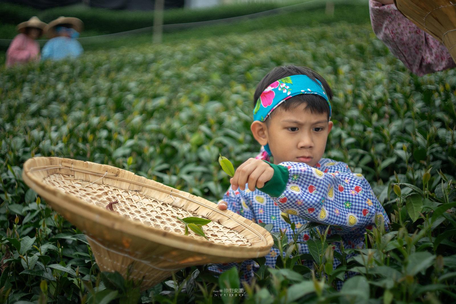 嘉義梅山當茶農,親子採茶一條龍 -3