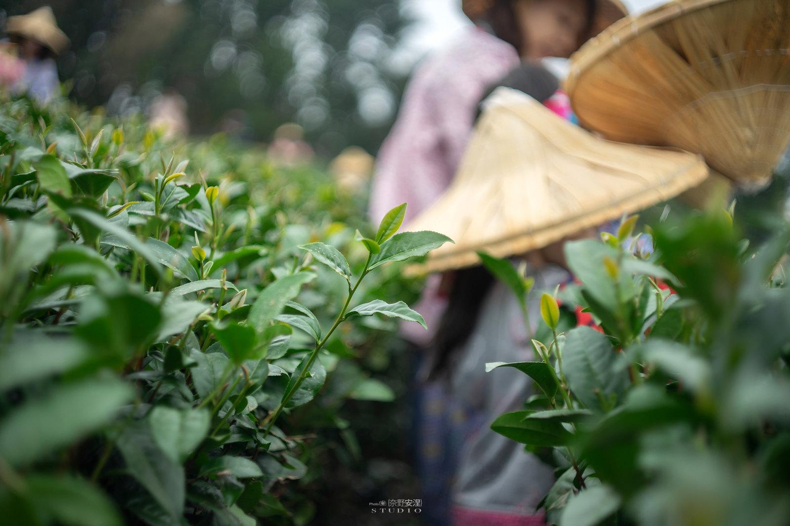 嘉義梅山當茶農,親子採茶一條龍 -2