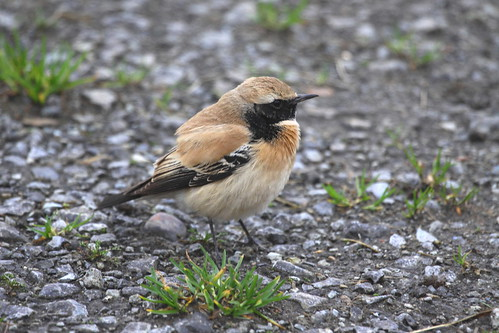 Desert Wheatear (Oenanthe deserti), 1st winter male, Whitby, North Yorkshire. 14th January 2014. IMG_3819