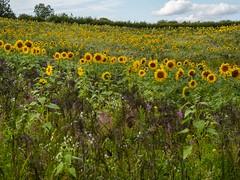 Sunflower galore. . .