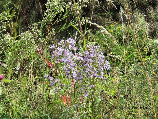Amethyst Aster (Symphyotrichum amethystinum)