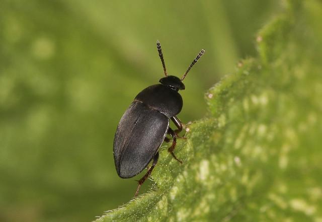 Round Fungus Beetle - Catops grandicollis
