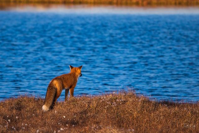 Red Fox Pondering