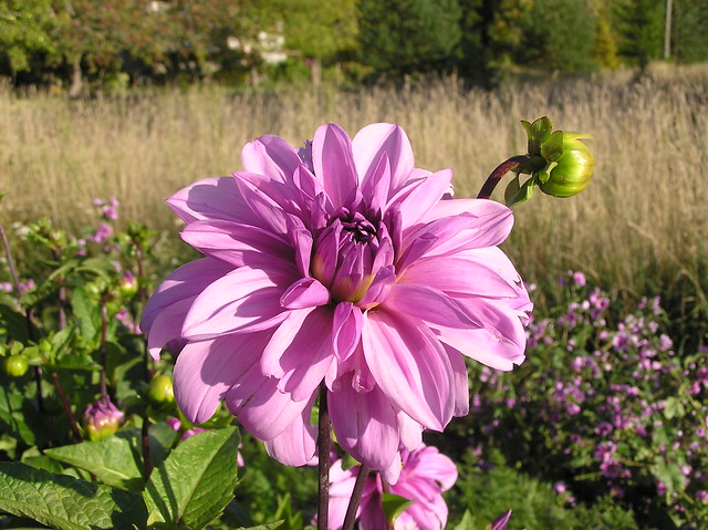 Dahlia 'Lilac Time'