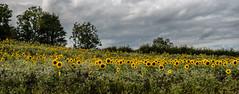 Sunflower fields.