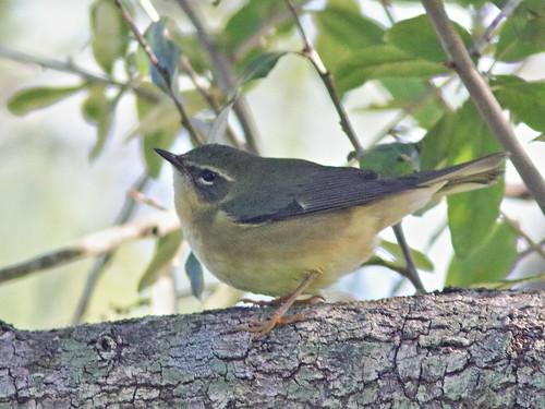 Black-throated Blue Warbler female 02-20190923