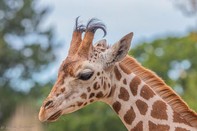 Rothschild giraffe calf.