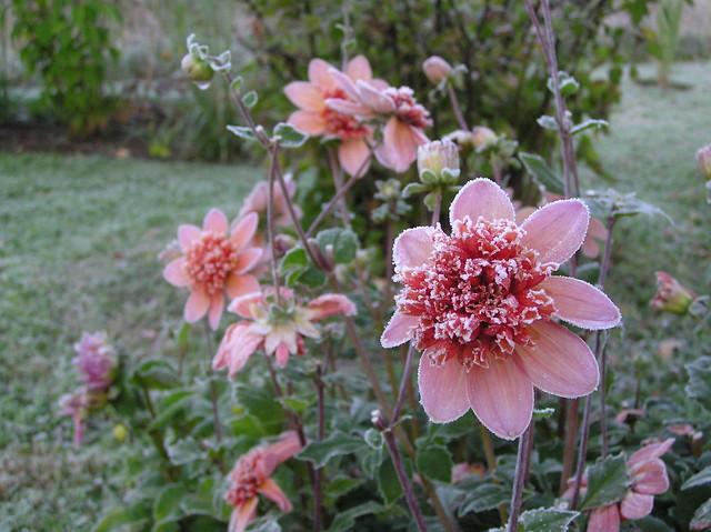 Dahlia 'Tangerine Dream'