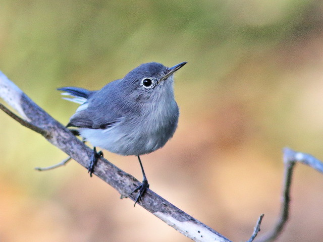 Blue-gray Gnatcatcher 01-20190923