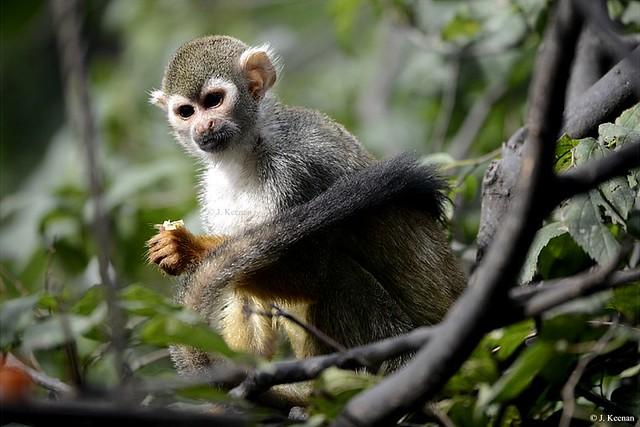 Common Squirrel Monkey - Saimiri sciureus