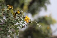 Sophora chrysophylla flowers