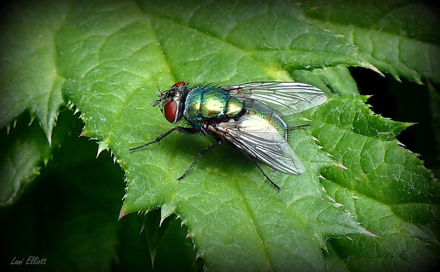 Beautiful Bristle Fly
