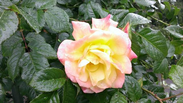 Test Garden, International Rose Test Garden 05/23/2013
