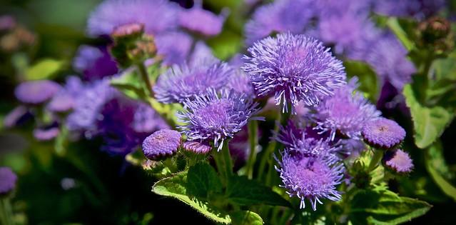 Little Field of Purple Pom Poms
