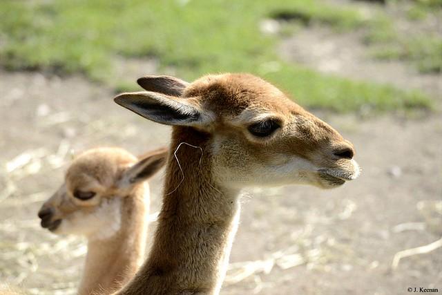 Dama Gazelle - Nanger dama ruficollis