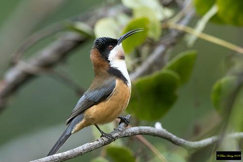 acanthorhynchustenuirostris acanthorhynchus tenuirostris easternspinebill eastern spinebill honeyeater sydney nsw australia leastconcern