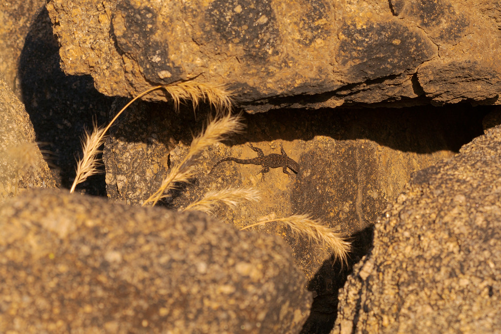 An environmental portrait of an ornate tree lizard in a jumble of rocks on the Chuckwagon Trail in McDowell Sonoran Preserve in Scottsdale, Arizona in June 2019